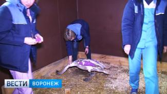 Воронежцев потрясла история лебединой верности