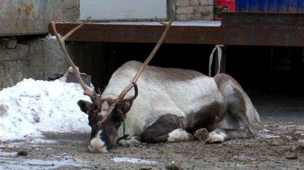 За смерть северного оленя в Воронеже никого не накажут