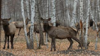 В Воронежской области алтайским оленям срежут рога ради лечебных ванн для туристов