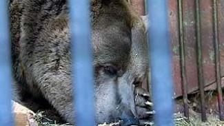 В Воронежском зоопарке впервые медведица впала в спячку