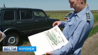 В Воронежской области преуспели в борьбе с карантинными сорняками