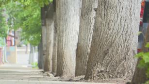 «Ни вреда, ни пользы». Почему в Воронеже продолжают белить деревья