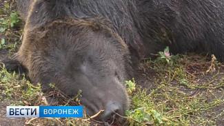 Под Воронежем под суд пойдёт хозяин медведя, растерзавшего пенсионера
