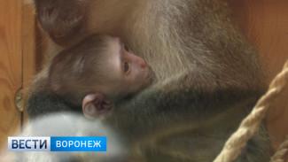 В Воронежском зоопарке у зелёных мартышек родился третий детёныш