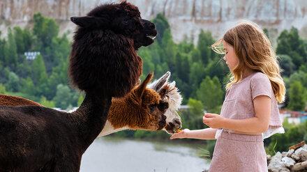 Воронежцам назвали дату открытия первого альпака-парка
