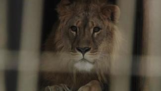 В Воронеже сотрудники зоопарка так и не уговорили льва пройтись по снегу
