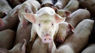 В Воронежской области зафиксирована новая вспышка африканской чумы свиней