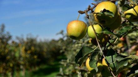 В Воронеже вновь задумались о застройке изъятой у «Выбора» части яблоневых садов