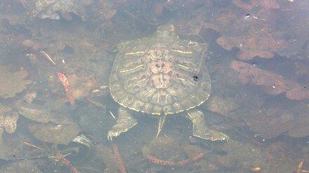 Генпрокуратура заинтересовалась массовой гибелью черепах в озере под Воронежем