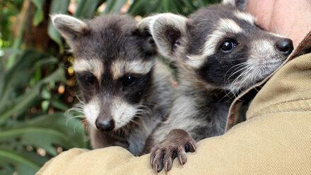 Воронежский зоопарк пригласил горожан познакомиться с малышами-енотами