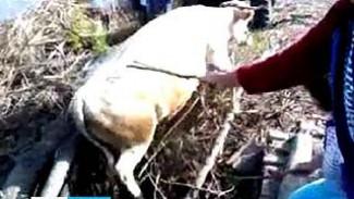 В Петропавловском районе спасали корову, упавшую с моста