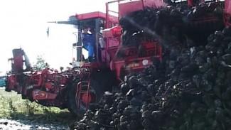 Воронежские аграрии собрали лучший за 100 лет урожай сахарной свёклы
