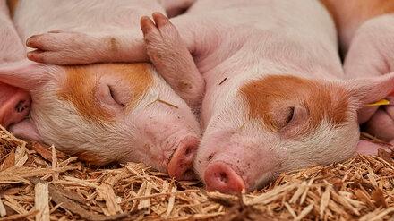 В двух районах Воронежской области сняли карантин по африканской чуме свиней