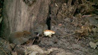 «Бегают хороводом». Что воронежцы рассказали о нашествии мышей-полёвок
