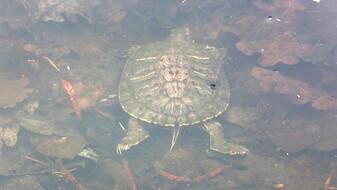 Экологи опровергли массовую гибель черепах на уникальном озере под Воронежем