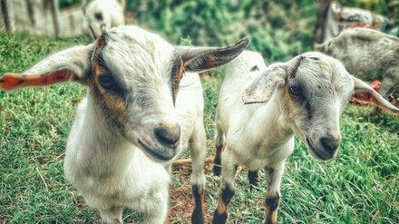 «Дети остались без молока». Под Воронежем стая собак растерзала домашних коз
