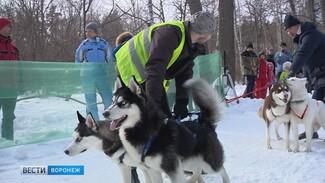 Под Воронежем прошли экзотические гонки на самоедах и хаски