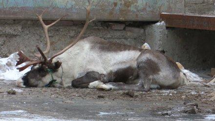 Сообщениями о смерти измученного оленя в Воронеже заинтересовалась полиция