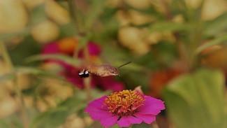 Воронежский заповедник опубликовал видео с редчайшей бабочкой-колибри