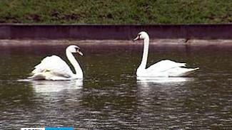 Пара лебедей снова вернулась на Минскую