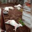 В селе в Воронежской области при странных обстоятельствах погибло поголовье коз