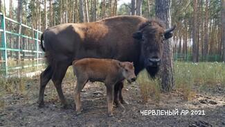 В воронежском зоопитомнике у бизонов родился детёныш