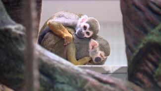 В Воронежском зоопарке поселились крохотные обезьянки Чип и Дейл