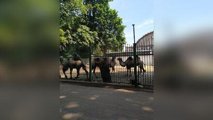 У цирка воронежцы встретили компанию гуляющих верблюдов