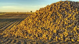 Воронежских аграриев попросили сократить посевы сахарной свёклы из-за высоких урожаев