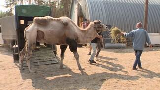 Воронежскому зоопарку передали 16-летнего верблюда