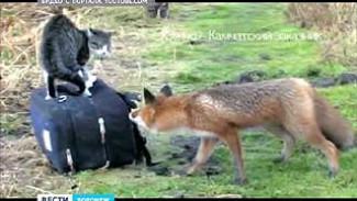 В Воронежском регионе - нашествие лис
