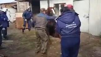 В Воронеже рассказали о спасении упавшего в яму 400-килограммового коня