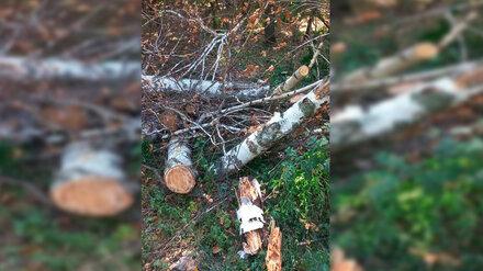 В воронежском лесопарке Оптимистов возобновили вырубку деревьев