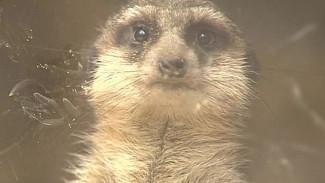 Воронежскому зоопарку подарили суриката и домик для него