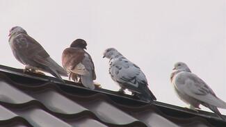 Неизвестные подкинули 30 породистых голубей на турбазу в Воронежской области