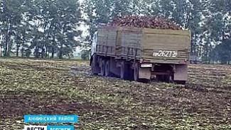 Сахарный завод в Аннинском районе опять не может справиться с урожаем