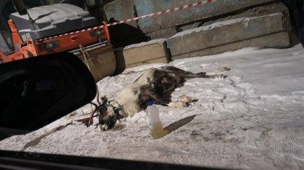 Воронежцы сообщили о гибели привязанного в промзоне обессиленного оленя