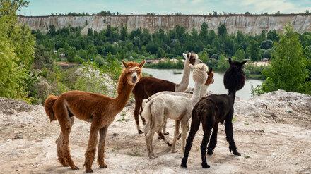Первый в Воронеже альпака-парк откроют в августе