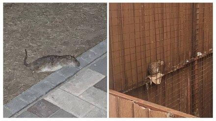 После нашествия крыс на ЖК в центре Воронежа проверят управляющую компанию