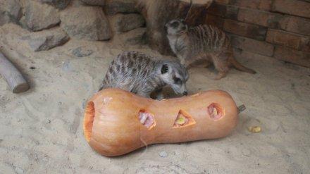 В канун Хеллоуина в Воронежском зоопарке животных накормят тыквой