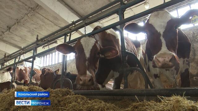 Молочные фермы и французский скот. Как процветает Хохольский район