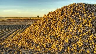 Воронежские предприятия «Продимекса» продолжают уборку свёклы и сев озимой пшеницы