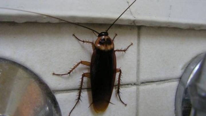 В Воронеже управляющая компания 10 лет не может избавить жильцов дома от тараканов