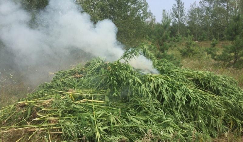 Полицейские сожгли плантацию конопли в Воронежской области