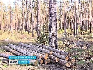 20 совершенно здоровых сосен уничтожили на территории Сомовского лесничества