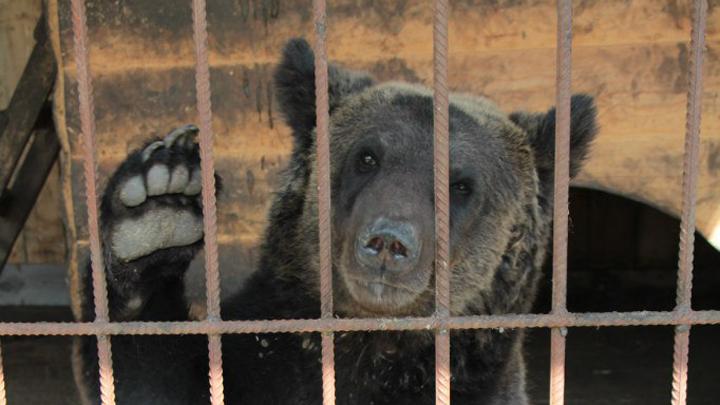 После нападения медведя налюдей вВоронежской области возбуждено уголовное дело
