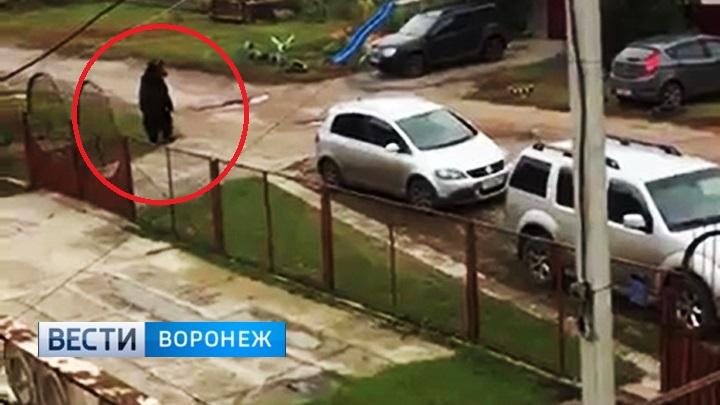 В сеть попало видео бегающего по Семилукам медведя-убийцы