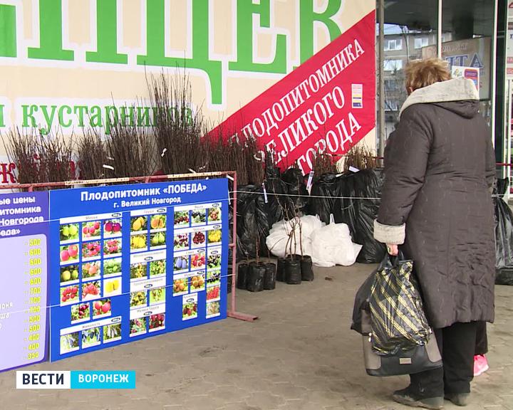 В Воронеж привезли саженцы из Великого Новгорода