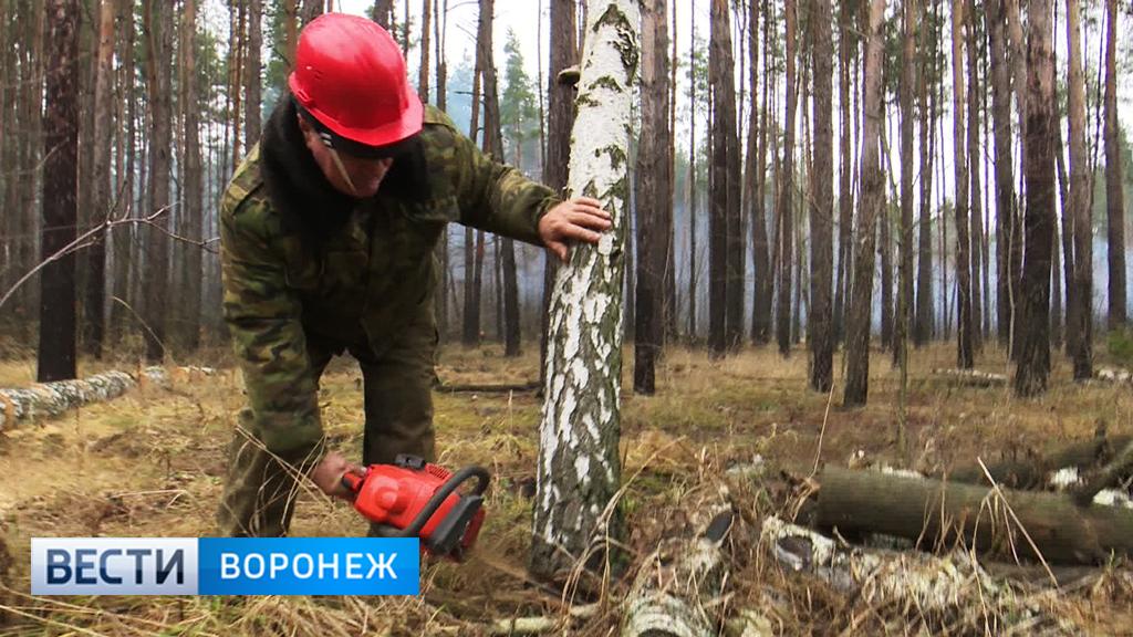 В воронежских лесничествах завершается санитарная рубка деревьев