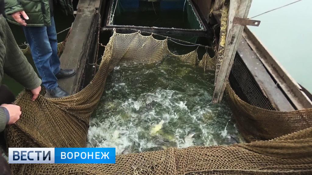 «Золотые» караси. Воронежские рыбоводы готовы отказаться от подорожавших прудов